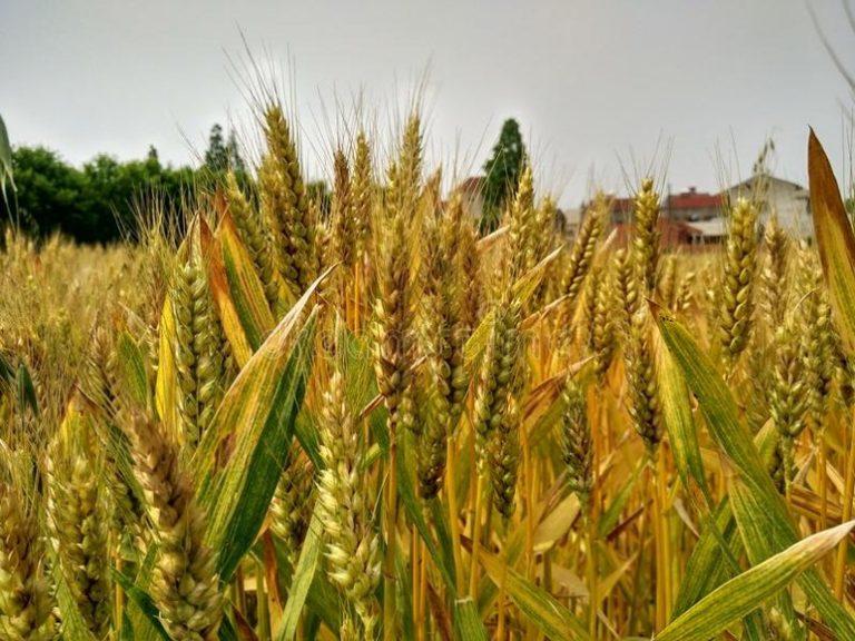 Plantación de trigo